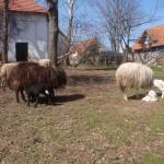 Unsere Schafe mit Nachwuchs