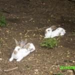 Unsere zwei freilaufenden Hasenmännchen