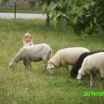 Katharina hat keine Angst vor den großen, frisch geschorenen Schafen